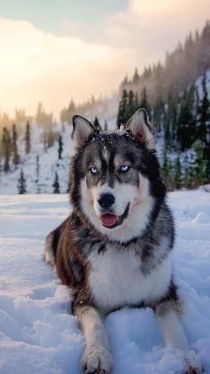 狗狗 哈士奇 动物 冬天