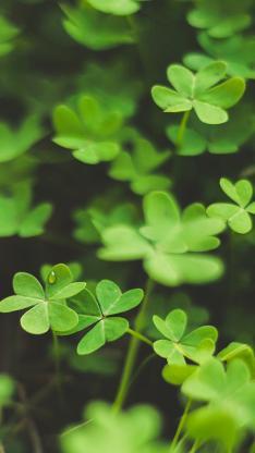 小清新 植物 三叶草 幸运