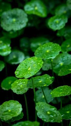 铜钱草 绿色 露水 绿化 护眼