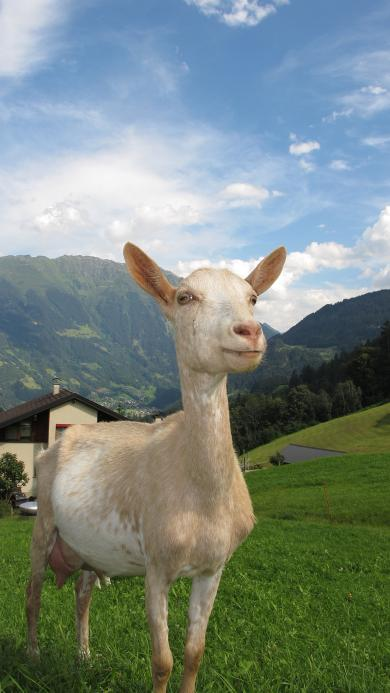 蓝天白云 草地 小奶羊 白色