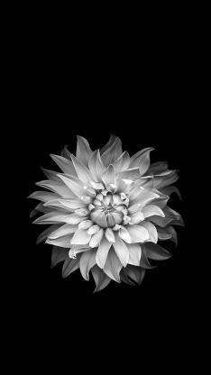 鲜花 黑白 盛开 唯美 绽放 花朵 特写
