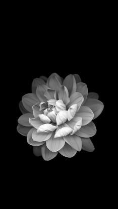 鲜花 黑白 盛开 绽放 花朵 唯美