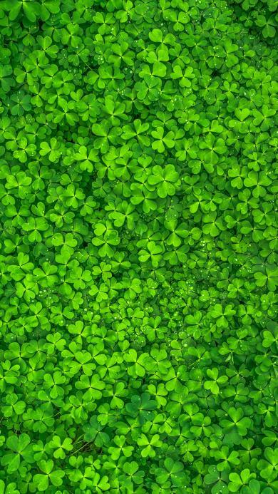 三叶草 满屏 绿色植物 护眼顶视图 三叶草