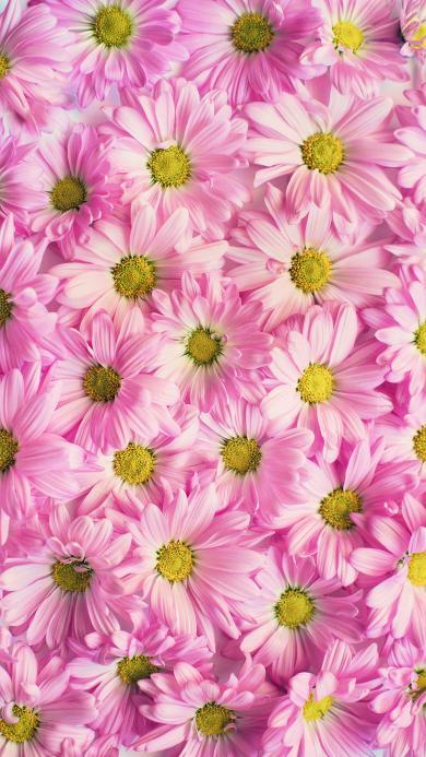 雏菊 盛开 粉色雏菊 粉