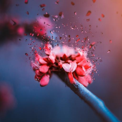 红花 紫荆花 绽放 花瓣 花  春天