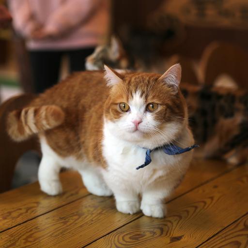 宠物猫 小肥猫 短腿 呆萌