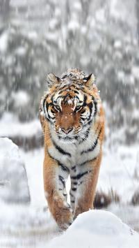 老虎 猛兽 凶猛 猫科 雪地 下雪 冬季
