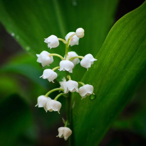 铃兰 鲜花 春意 白色