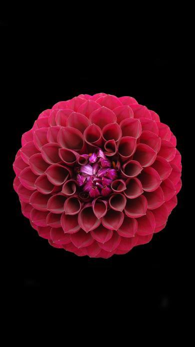 鲜花  植物 盛开 色彩 花瓣  鲜红