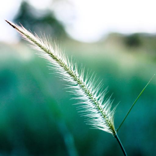 植物 狗尾巴草 绿色 高清