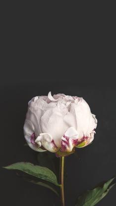 鲜花 花瓣 花朵 绿叶 植物 特写