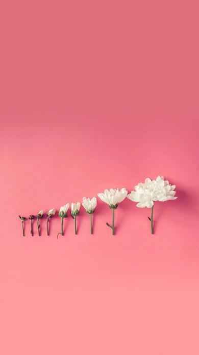 鲜花 成长 盛开过程 粉色 唯美 浪漫 枝叶