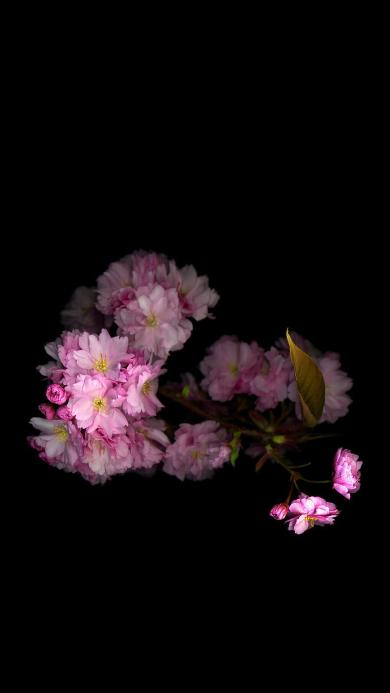 鲜花 黑色背景 粉色 盛开 春天 花朵 枝叶