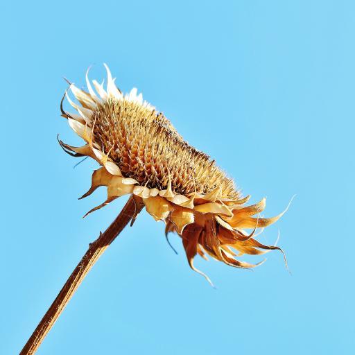 向日葵 花 天空 蓝天 干枯 枯叶