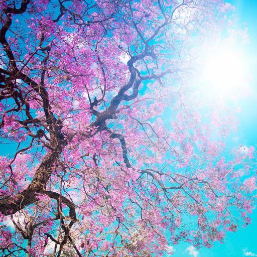 樱花 风景 景色 花朵