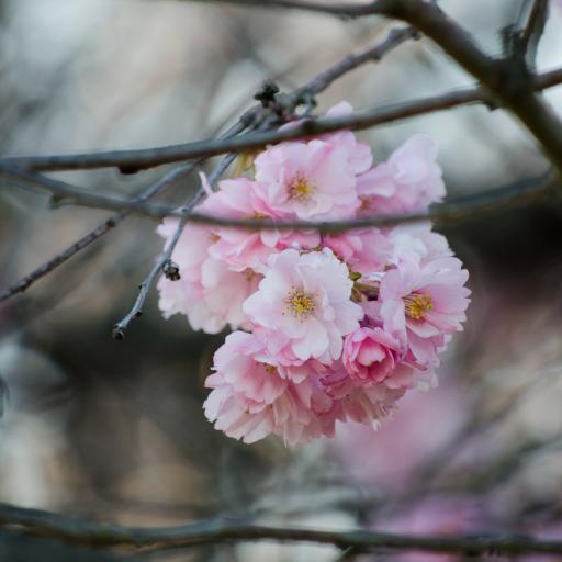 鲜花 枝头 粉色 唯美 花簇