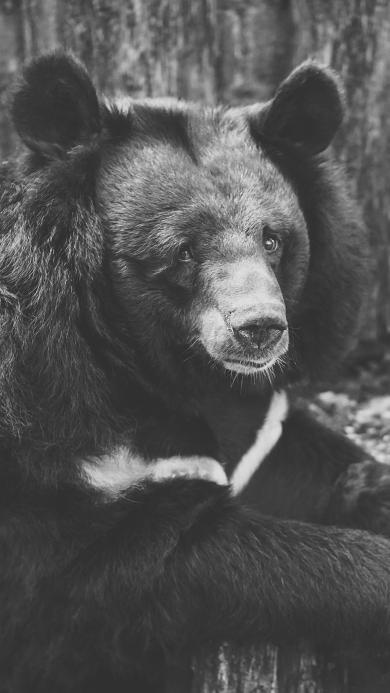 黑白拍摄 动物 黑狗熊