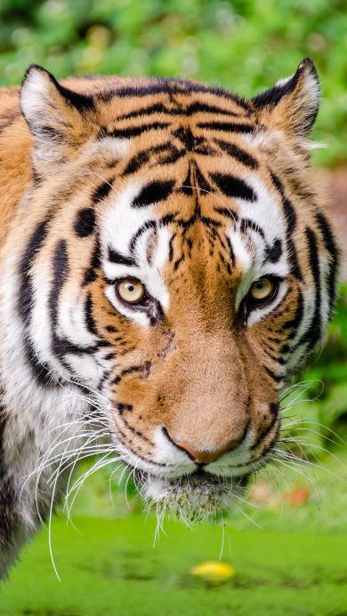 丛林之王 老虎 凶猛