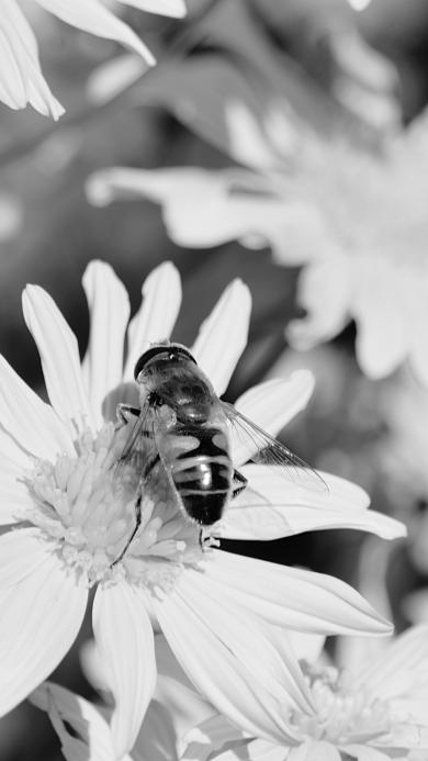 黑白拍摄 菊花 蜜蜂采蜜