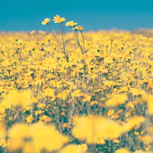 小雏菊花海 黄色 唯美
