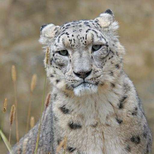 野外 雪豹 白色 国家保护动物