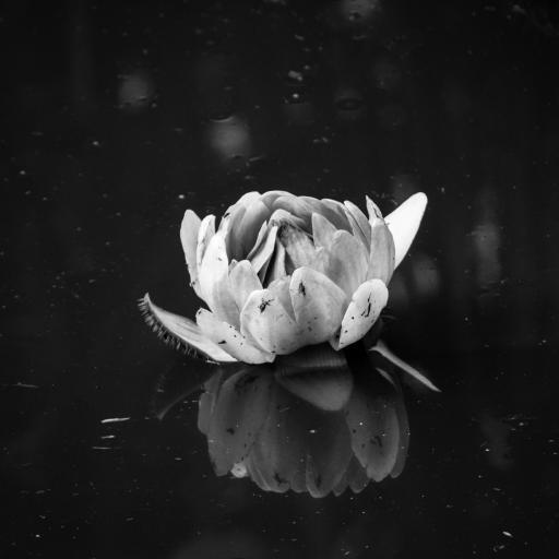 创意 黑白 特写 花瓣 植物