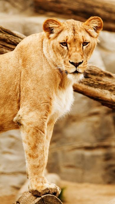 动物 猫科动物 狮子 户外