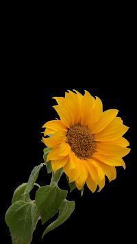 黑色背景 向日葵 黄色 大花盘