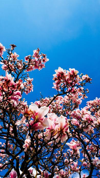 蓝天 鲜花 粉色 唯美