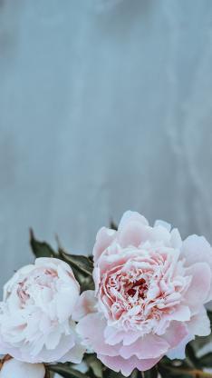鲜花 牡丹 植物 盛开 花瓣 粉