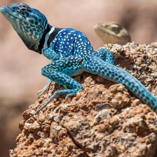 蜥蜴 蓝色 石头 变色