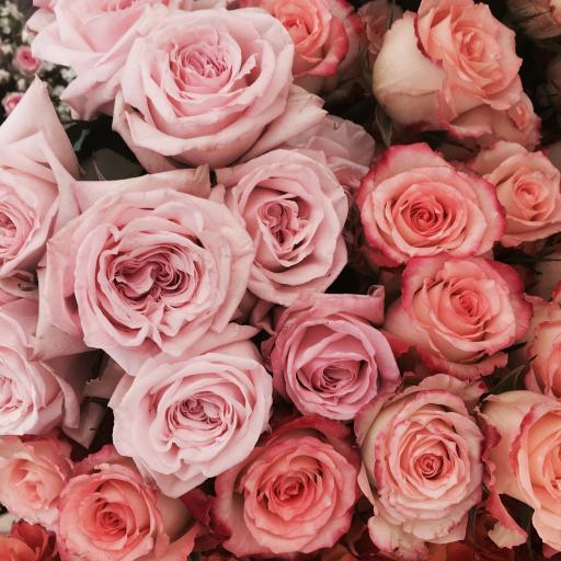 玫瑰 鲜花 粉色 盛开 浪漫