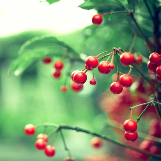 樱桃 植物 绿色 果实