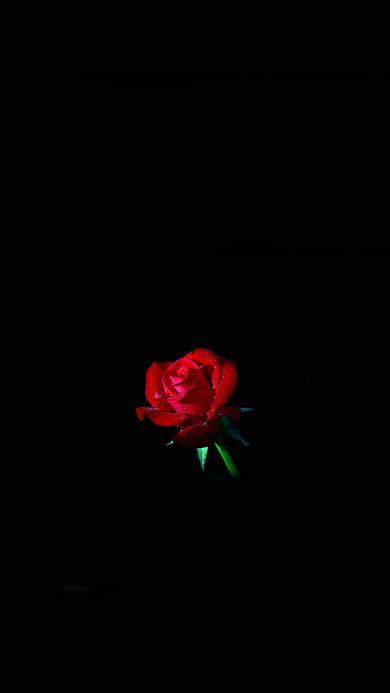 玫瑰 鲜花 盛开 水珠