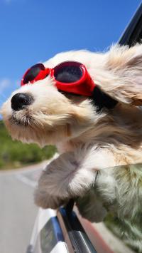 狗狗 动物 眼镜 兜风