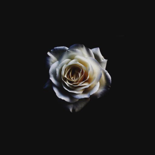 玫瑰 鲜花 植物 特写 创意 慌