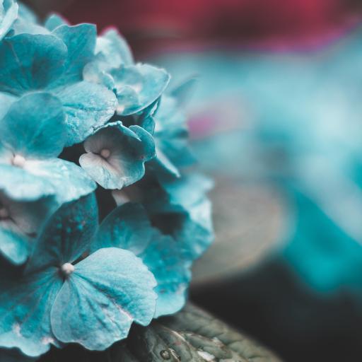 鲜花 植物 花瓣 蓝色