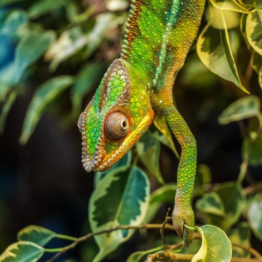 变色龙 爬行 绿色 树枝 枝叶