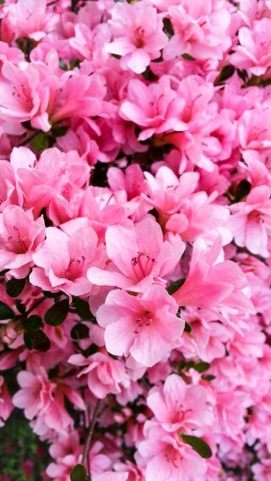植物 密集 盛开  鲜花 红艳