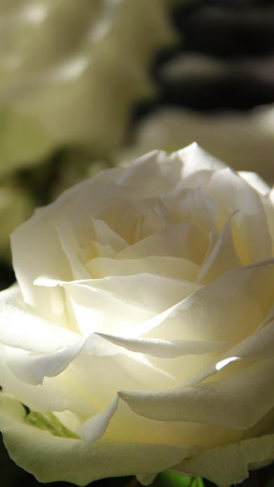 白玫瑰 绽放 纯洁 一丝阳光