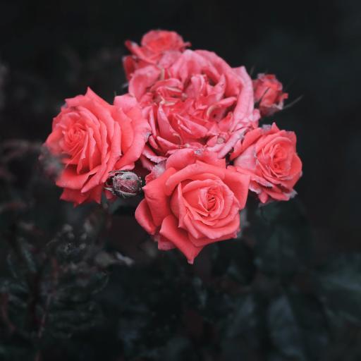玫瑰 粉色 植物 花瓣