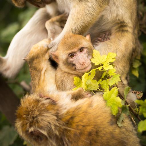 猴子 动物 枝叶 幼仔