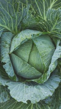 包菜 绿色 叶子 叶脉 蔬菜 水珠