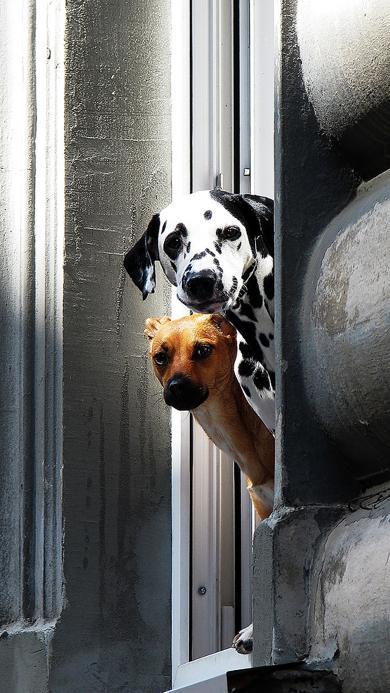 狗狗 动物 斑点狗 探头