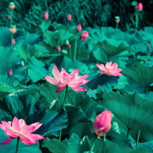 荷塘 荷花 荷叶 鲜花 唯美 夏日