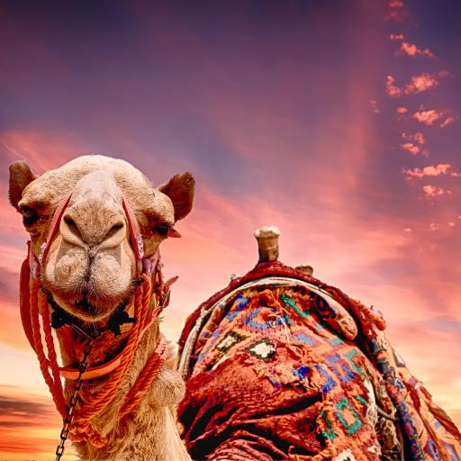 沙漠之舟 骆驼 呆萌