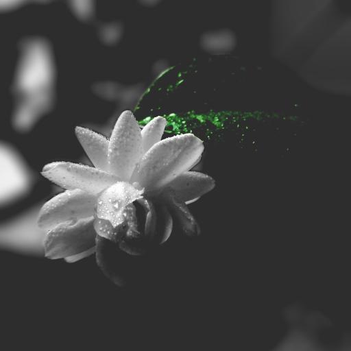 黑白滤镜 白色鲜花 绿叶 露珠