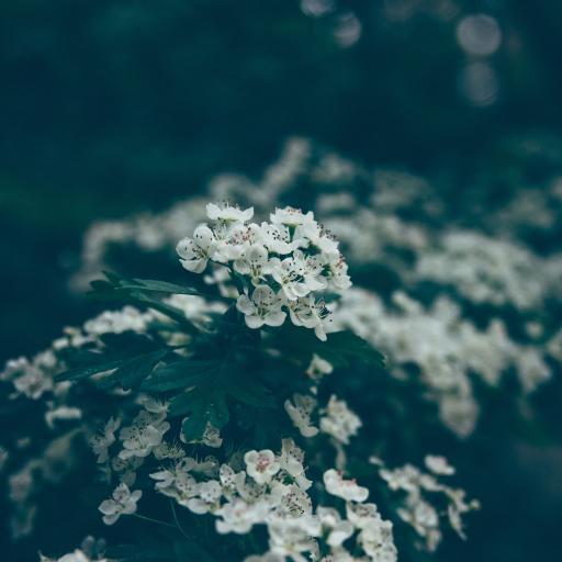 白色小花 植物 户外 野花 花簇
