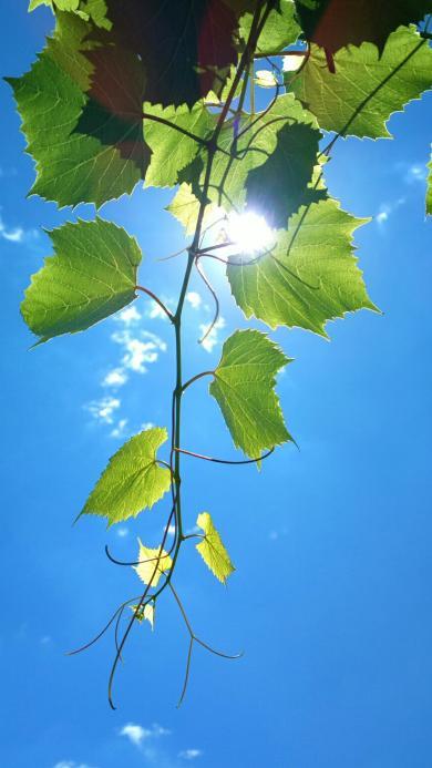 葡萄藤 植物 葡萄藤 葡萄叶