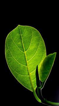 黑色背景 绿叶 嫩芽